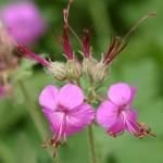 Geranium_macrorrhizum_flowers
