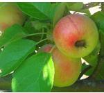 Skärmklipp äpple