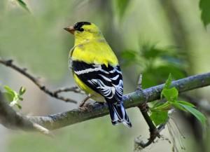 Natur- fågel-fink