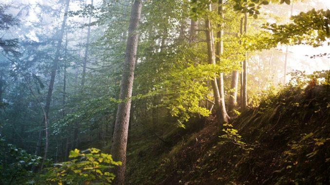 forrest, trees, fog