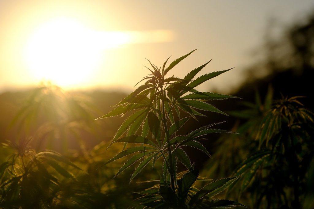 hemp, plant, cannabis