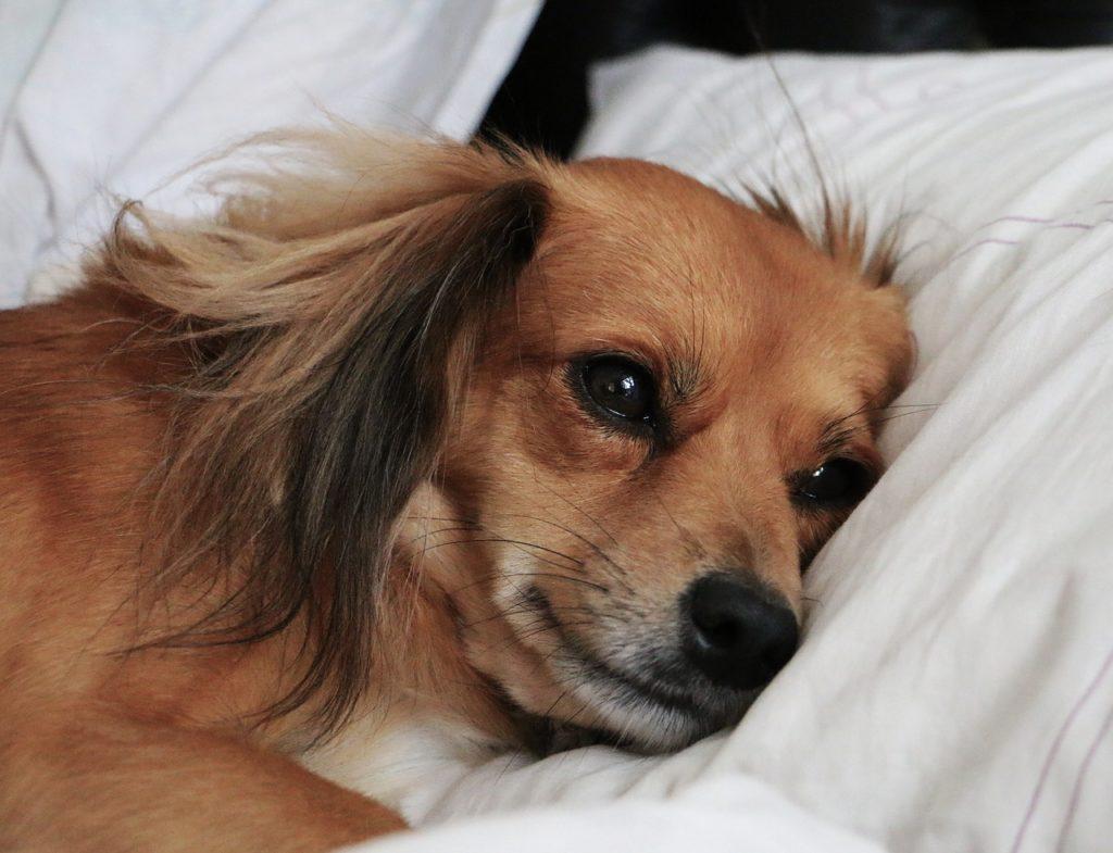 sad, dog, lying in bed